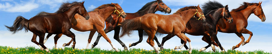 big brown horses